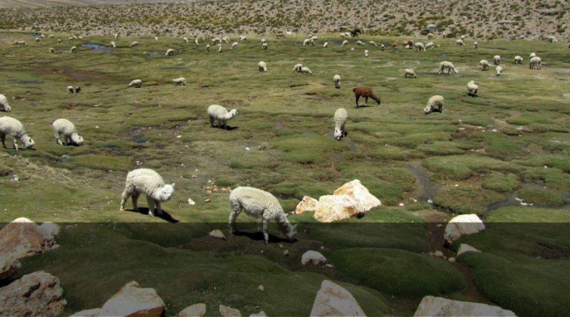 En Chimborazo se fortalece la cadena de valor de la alpaca